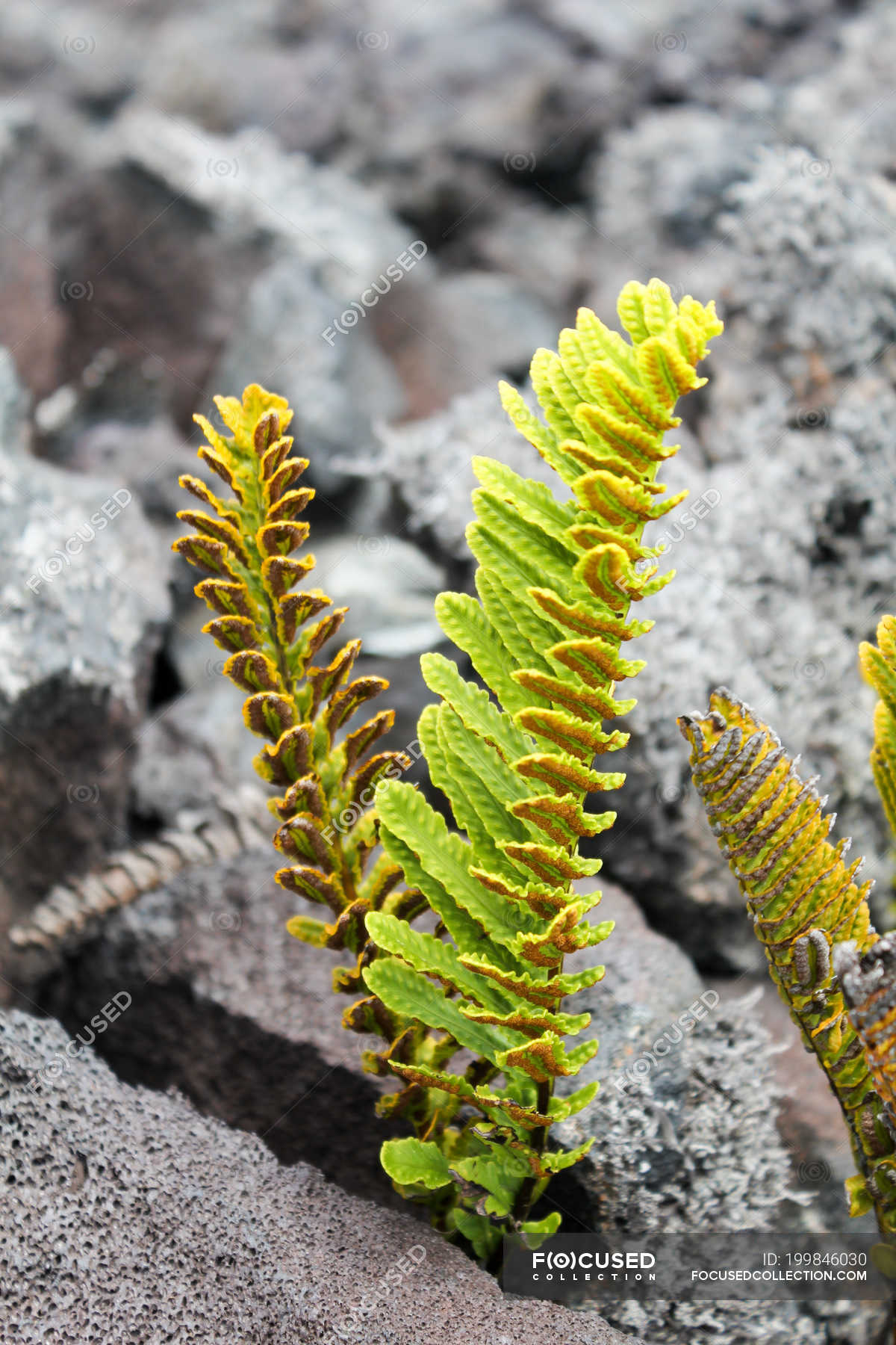 Bright Green Plants Growing From Lava Rocks Hawaii Usa Vertical Flora Stock Photo 199846030