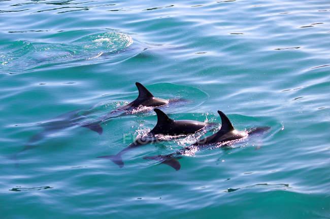 Neuseeland, Südinsel, Canterbury, South Bay, Kaikoura, Delfinen im türkisfarbenen Wasser — Stockfoto