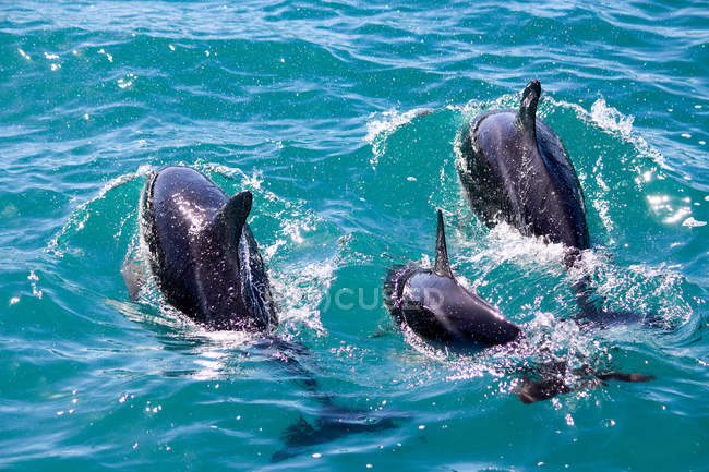 New Zealand, South Island, Canterbury, South Bay, Kaikoura, Dolphins in turquoise sea water — Stock Photo