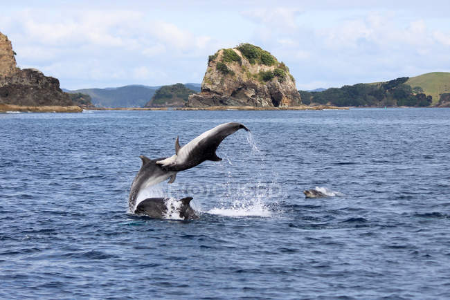New Zealand, North Island, Northland, Pahia, Bay of Islands, Dolphins by the coast — стокове фото