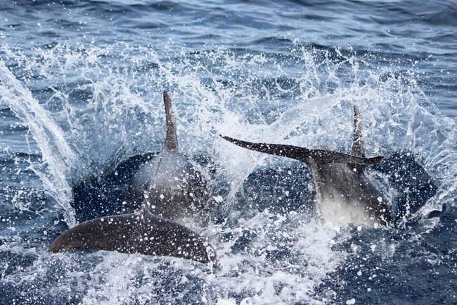 Новозеландський, Північного острова, Уїльяма, Pahia, Bay острови, дельфіни хлюпалися море води — стокове фото
