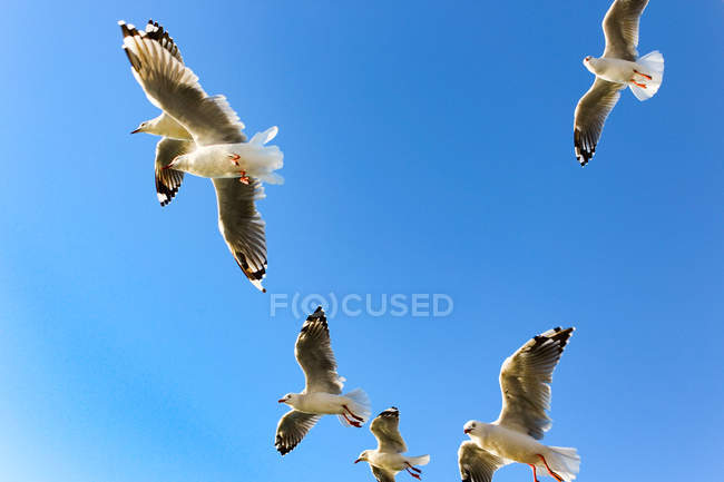 New Zealand, North Island, Northland, Mangonui, Bottom view of flying flock of seagulls — Stock Photo