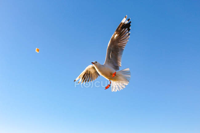 Nouvelle-Zélande, Île du Nord, Northland, Mangonui, Vue du bas de la mouette volante attrapant un morceau de pain — Photo de stock