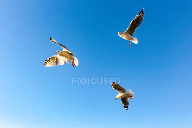 Nouvelle-Zélande, Île du Nord, Northland, Mangonui, Vue du bas de volée de mouettes — Photo de stock