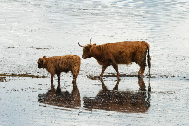 Großbritannien, Schottland, Argyll und Bute, Ledaig, Schottische Hochlandrinder auf Ledaig — Stockfoto