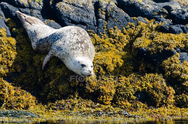 Reino Unido, Escocia, Highland, Isla de Skye, foca en la bahía de la isla con piedras cubiertas de algas - foto de stock