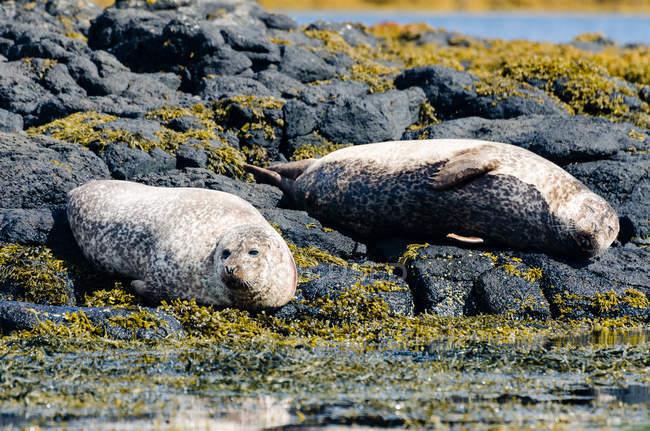 Reino Unido, Escócia, Highlands, Ilha de Skye, focas, Sea Seers em show rochoso com algas — Fotografia de Stock