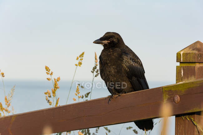 Crow bird on wooden fence by Dunnottar Castle, Stonehaven, Aberdeenshire, Scotland, United Kingdom — Foto stock
