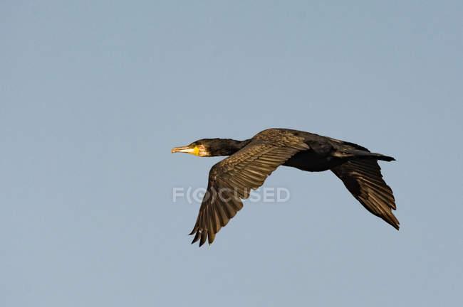 Птах-летяга в польоті біля точки Чанонрі, Фортроз, Гайлендс, Шотландія, Велика Британія. — стокове фото