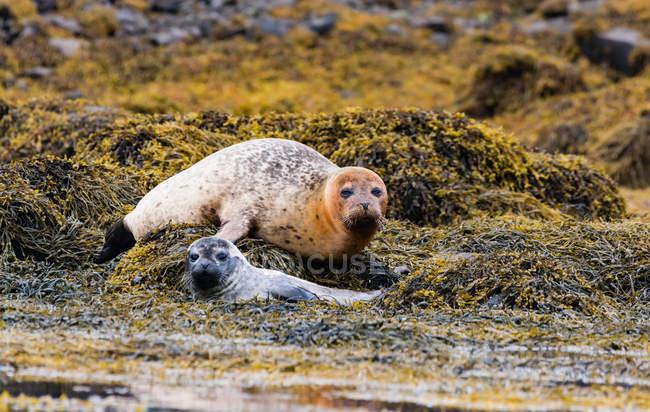 Regno Unito, Scozia, Highlands, Isola di Skye, foche sull'isola di Skye vicino al castello di Dunvegan — Foto stock
