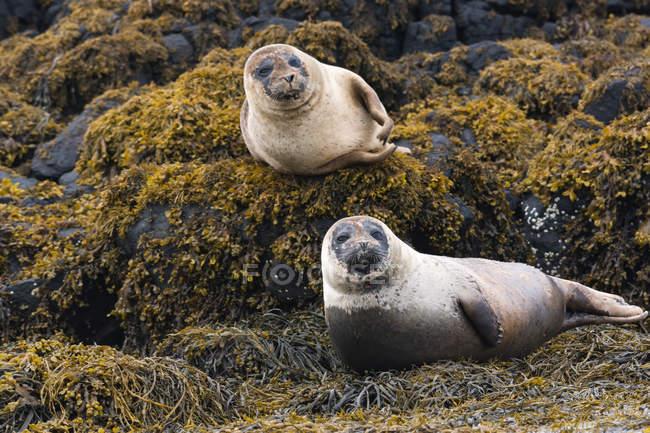 Regno Unito, Scozia, Highlands, Isola di Skye, foche sulla baia dell'isola con pietre ricoperte di alghe — Foto stock