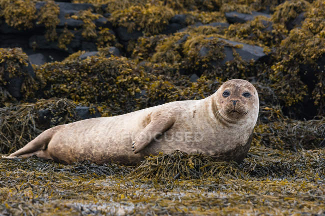 Reino Unido, Escocia, Highlands, Isla de Skye, foca en la bahía de la isla con piedras cubiertas de algas - foto de stock