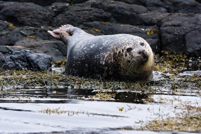 Reino Unido, Escócia, Highlands, Ilha de Skye, selo na ilha de Skye perto de Dunvegan Castle — Fotografia de Stock