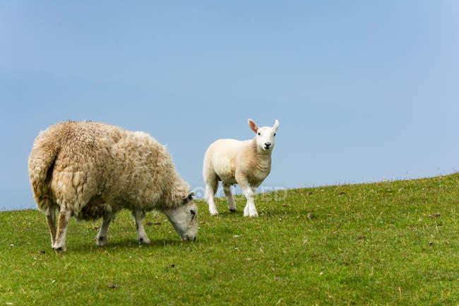 Vereinigtes Königreich, Schottland, Hochland, Insel des Himmels, Glendale, Schafe auf der Weide — Stockfoto