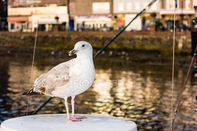 Vereinigtes Königreich, Schottland, Argyll und Tribute, Oban, Vogel im Hafen von Oban, überfüllte Böschung im Hintergrund — Stockfoto