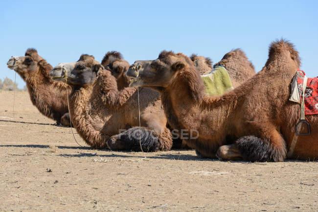 Узбекистан, Nurota tumani, верблюди, лежачи протягом сафарі в пустелі Kizilkum — стокове фото
