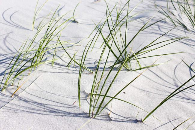 Austrália, Tasmânia, praia de Denison, grama na praia — Fotografia de Stock