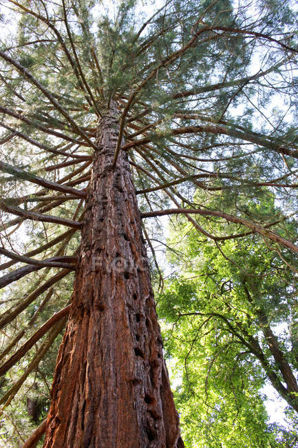 Australie, Tasmanie, Launceston, Vue du bas de l'arbre ancien — Photo de stock