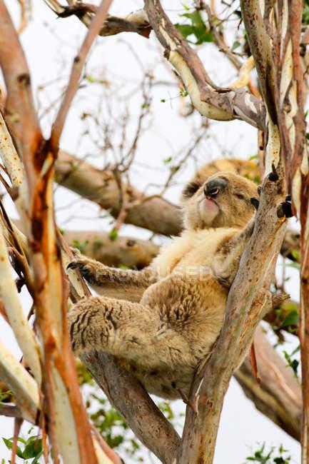 Australien, großer Otoway-Nationalpark, große Meeresstraße, Koala auf Baum — Stockfoto