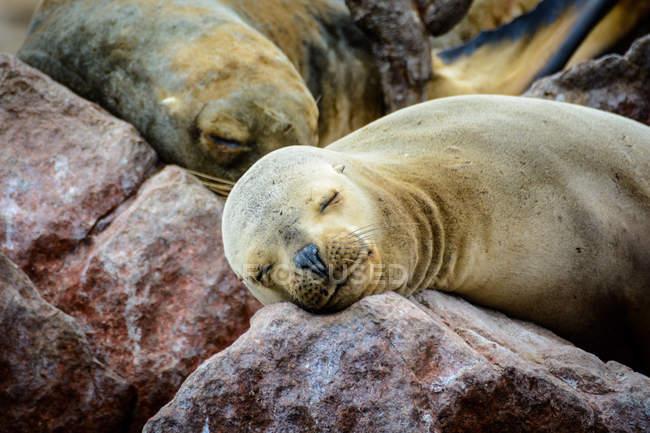 Peru, Ica, Pisco, The Islas Ballestas, foche addormentate su rocce costiere — Foto stock