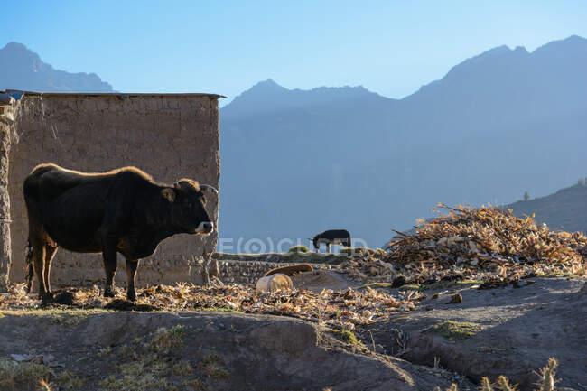 Cow and donkey at mountain village Cabanaconde in Colca Canyon, Arequipa, Peru — Photo de stock