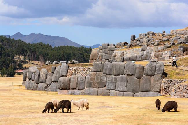 Перу, Куско, ламы у каменистых стен на улице — стоковое фото