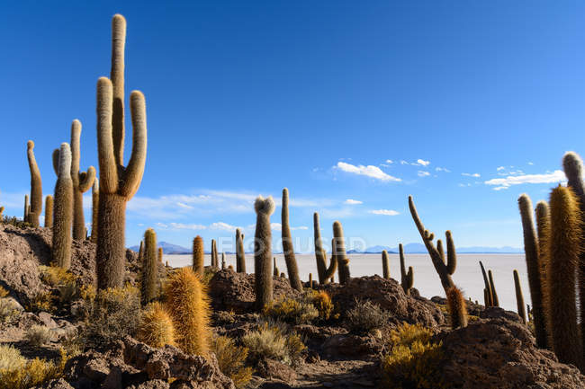 Cacti na ilha no lago salgado, Isla Incahuasi, Uyuni, Departamento De Potos, Bolívia , — Fotografia de Stock