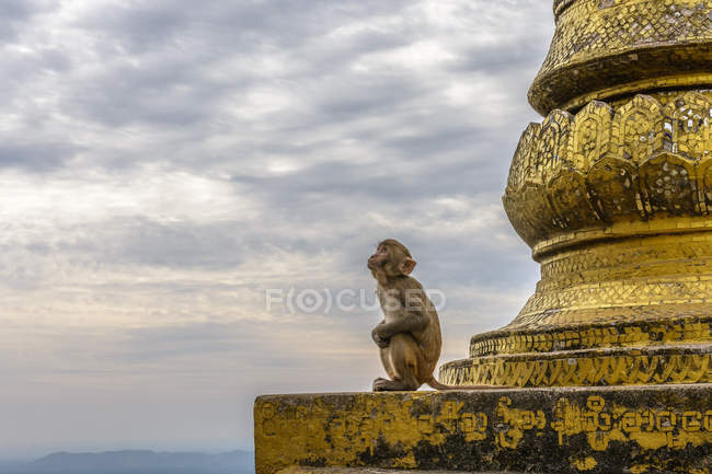 Myanmar (Burma), Mandalay Region, Myingyan, Monkey at Mt. Popa Shrine — Stock Photo