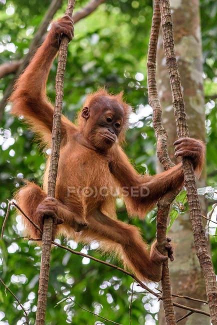 Louveteau orang-outan suspendu à un arbre vert dans un habitat naturel — Photo de stock