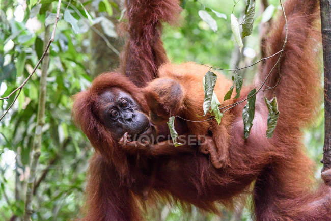 Indonésie, Aceh, Régence de Gayo Lues, Parc national Gunung-Leuser, Sumatra, Orang-outan avec ourson accroché à un arbre — Photo de stock