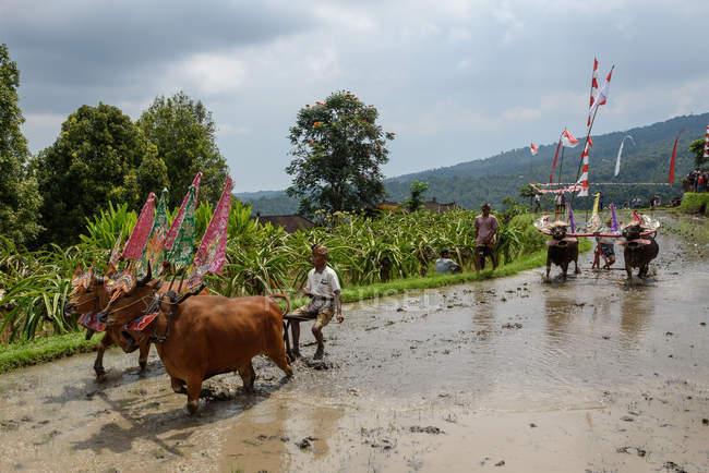 Кабул Buleleng, Балі, Індонезія - 17 серпня 2015: оранка з буйволів шоу. Введіть селян з оформлені буйволи — стокове фото