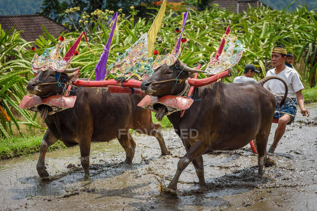 KABUL BULELENG, BALI, INDONESIA - AUGUST 17, 2015: Man plowing with water buffaloes — Stock Photo