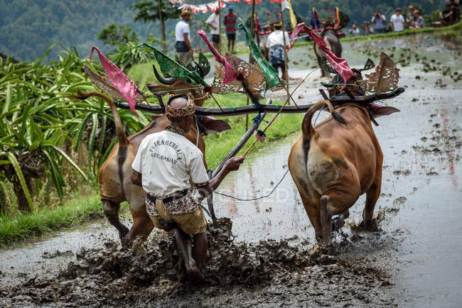 KABUL BULELENG, BALI, INDONESIA - AUGUST 17, 2015: plowing with water buffaloes show. peasant enter with decorated buffaloes — Stock Photo