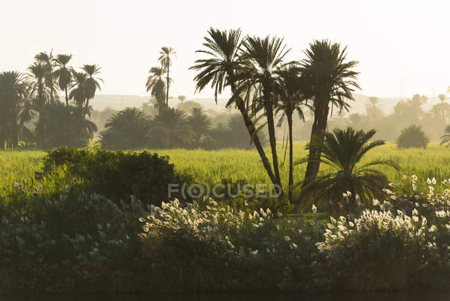 Egypte, Assouan, Edfou, vue panoramique soirée buissons arbres et vert Prairie dans la brume — Photo de stock