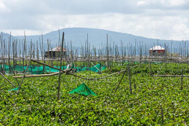 Indonesia, Sulawesi Utara, Kabah Minahasa, vegetable growing in the water, Danau Tondano lake on Sulawesi Utara — стоковое фото