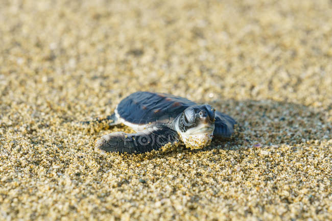 , turtle in the sand on the beach — Stock Photo