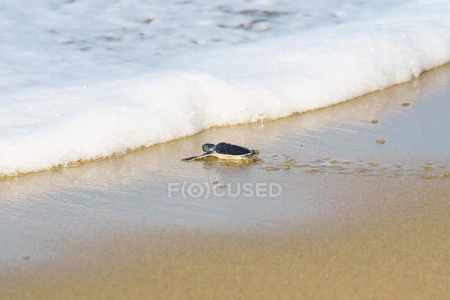 Tortue sur le chemin de la mer à la plage — Photo de stock