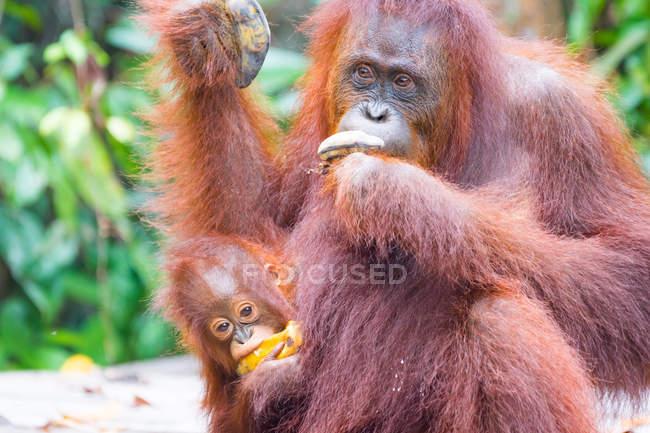 Indonésie, Kalimantan, Bornéo, Kotawaringin Barat, Tanjung Puting National Park, Orang-outan et ourson (Pongo pygmaeus) mangeant des bananes — Photo de stock