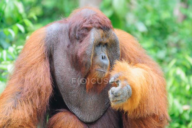 Indonesien, Kalimantan, Borneo, Kotawaringin Barat, Tanjung Puting Nationalpark, Orang-Utan (Pongo pygmaeus) Männchen — Stockfoto