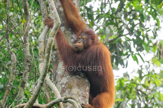 Orang-outan mâle (Pongo pygmaeus) accroché à un arbre vert dans un habitat naturel — Photo de stock