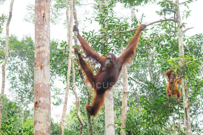 Indonésie, Kalimantan, Bornéo, Kotawaringin Barat, Tanjung Puting National Park, Orang-outan avec ourson (Pongo pygmaeus), accroché aux arbres — Photo de stock