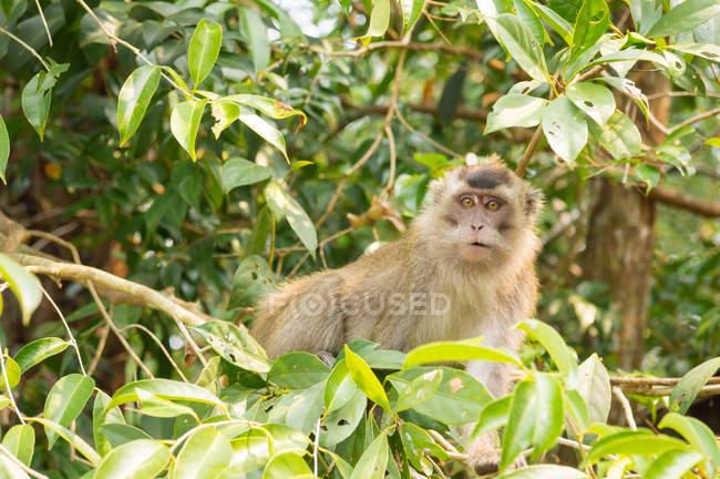 Macaque à longue queue (Macaca fascicularis) dans les arbres verts — Photo de stock