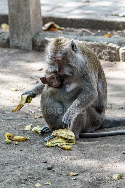 Мавп, сидить з бананами в парку, Kabembaten Jembrana, Балі, Індонезія — стокове фото