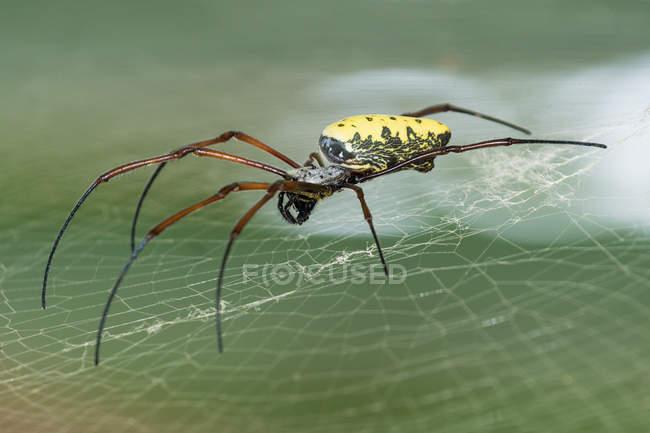 Indonesia, Java Barat, Kota Bogor, Spider in Botanical Garden, Kebun Raya Bogor, Botanical Garden — Photo de stock