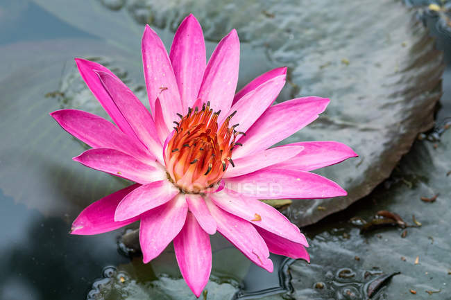 Indonesia, Java Barat, Kota Bandung, Park, Water Lily — Stock Photo