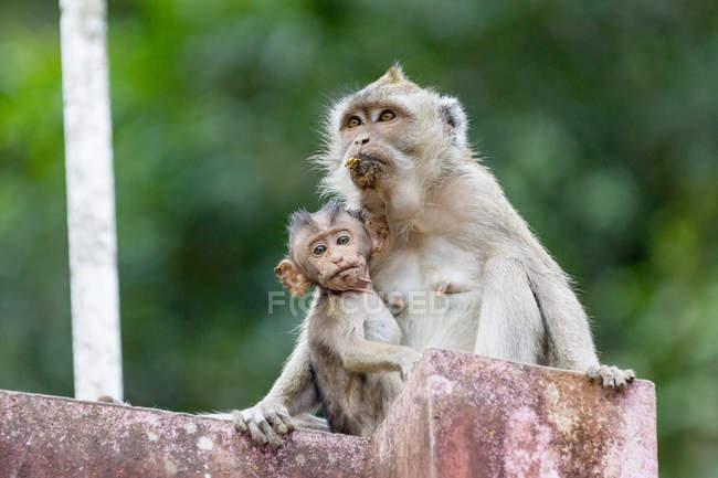 Indonésie, Java, Sleman, singe avec enfant assis sur la pierre, regardant de côté — Photo de stock