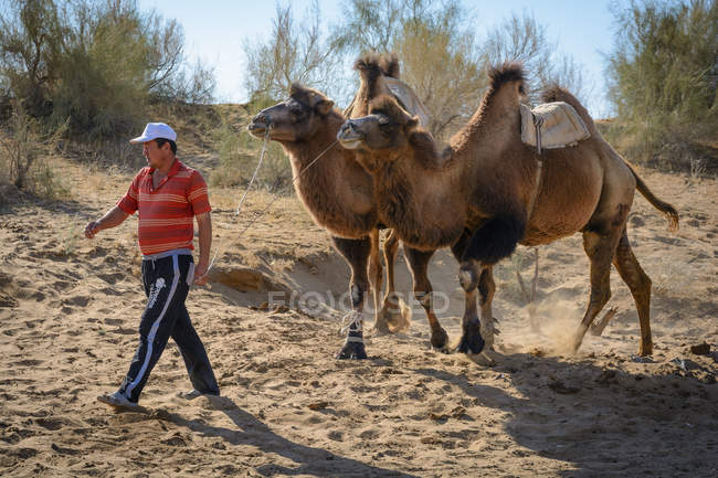 Asian man leads two camels, Nurota tumani, Uzbekistan — Stock Photo