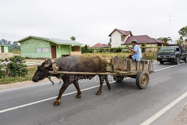 Індонезія, Суматера Утара, Кабупатон Каро, людина в возі з робочою бичкою. — стокове фото