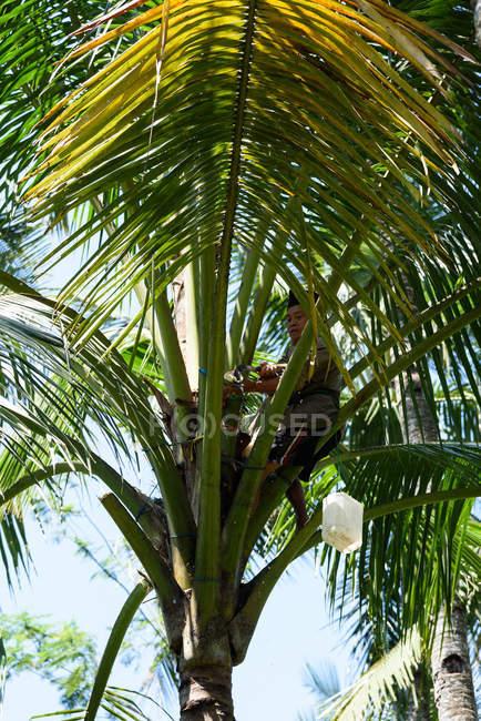 Vista dell'uomo di estrazione del succo di Palma, Kabanyaten Banyuwangi, Java Timur, Indonesia — Foto stock