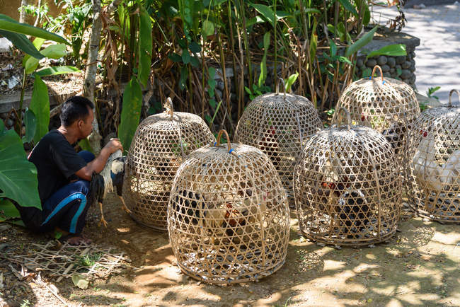 Asiatique homme assis près des cages avec des combats de coqs, Kaban Tabanan, Bali, Indonésie — Photo de stock